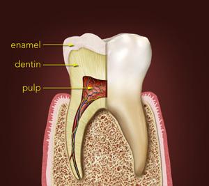 https://www.coastdental.com/coastdental/media/imgs/tooth-layers-fig-a.jpg